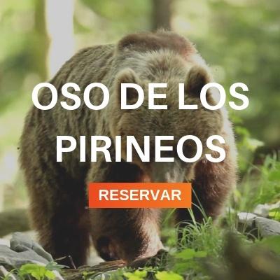 oso de los pirineos